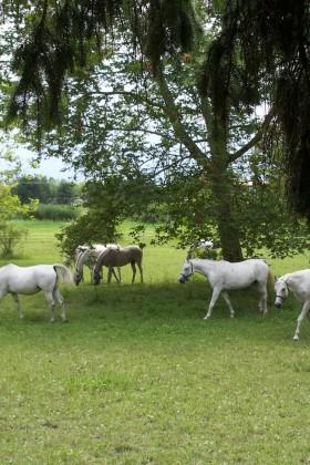 Nationalgestütspferde2_resized